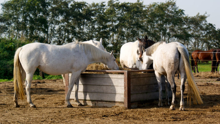 Witte paarden in paddock