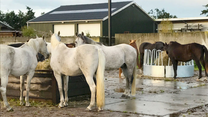 Paarden eten in paddock